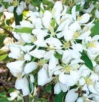 Spring Snow crabapple, wonderful blooms.  Also no fruit :)  Grows 20-25' with 15' spread. Needs full sun.