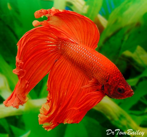 1000 images about betta fish bowls tanks ideas on for Betta fish ich