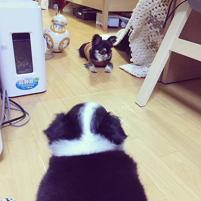 まるでポケモンバトル😂 ほっけがあらわれた。 ほっけの目をそらす。 しかし何も響いていない。 しらすのお姉ちゃん遊んで攻撃。 ほっけは逃げ出した…。 #チワワ #ちわわ #chihuahua #犬スタグラム #ロングコート #ブラックタンホワイト #dog #わんすたぐらむ #ふわもこ部 #犬 #チワワ部 #pawsomechihuahuas #ロンチー #pet #ロングコートチワワ #ちわわ大好き #愛犬 #ほっけ #食べ物じゃないよ #お酒によくあうアレじゃないよ #しらす #しらす丼食べたい #パピー #子犬 #よろしくね #ほっけとしらす #冷酒で乾杯  #ポケモン #ポケモンバトル