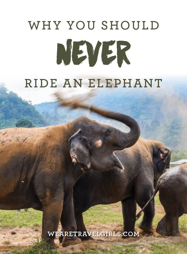 "WHY YOU SHOULD NEVER RIDE AN ELEPHANT Even though people say that they love elephants, and that elephants are their ""favorite animal,"" many still dream about riding one. Riding an elephant is the last thing you should do if you love and care for elephants, but for some the truth behind elephant riding and what is happening behind the curtains is not known. Animal cruelty is note always talked about in media, or taught in schools – so how can tourists know if it's wrong or not? By We Are…"