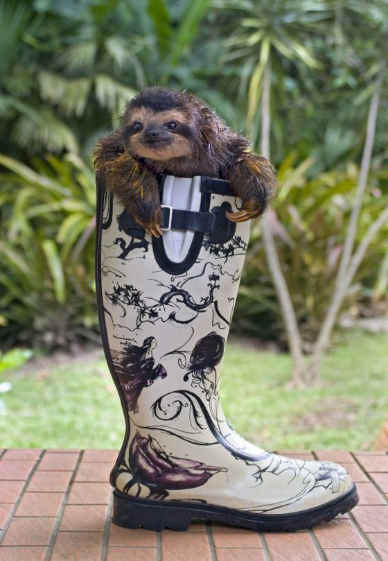 One of these days these boots will walk a sloth to you!: Animal Pictures, Animal Baby, Rain Boots, Pet Sloths, Baby Sloths, Cute Boots, Baby Animal, Cowboys Boots, Adorable Animal