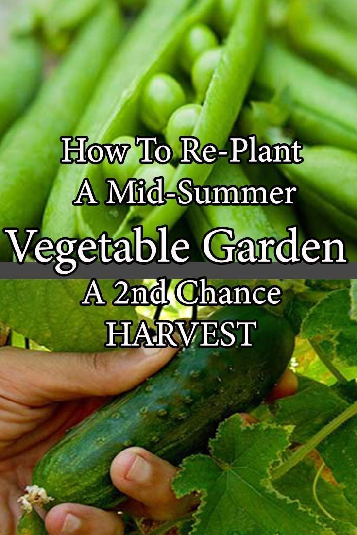 Re-Planting A Mid Summer Vegetable Garden – A 2nd Chance For Harvest! #fallvegetablegardening #summervegetablegardening #vegetablegardening