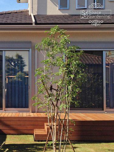 植栽 庭木 常緑樹 シマトネリコ
