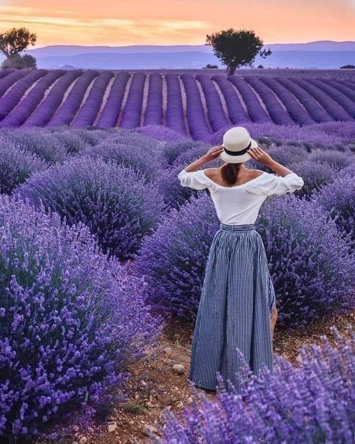 Beautiful Lavender Flowers Hd Wallpaper Lavender Plant Lavender Flowers Flower Wallpaper