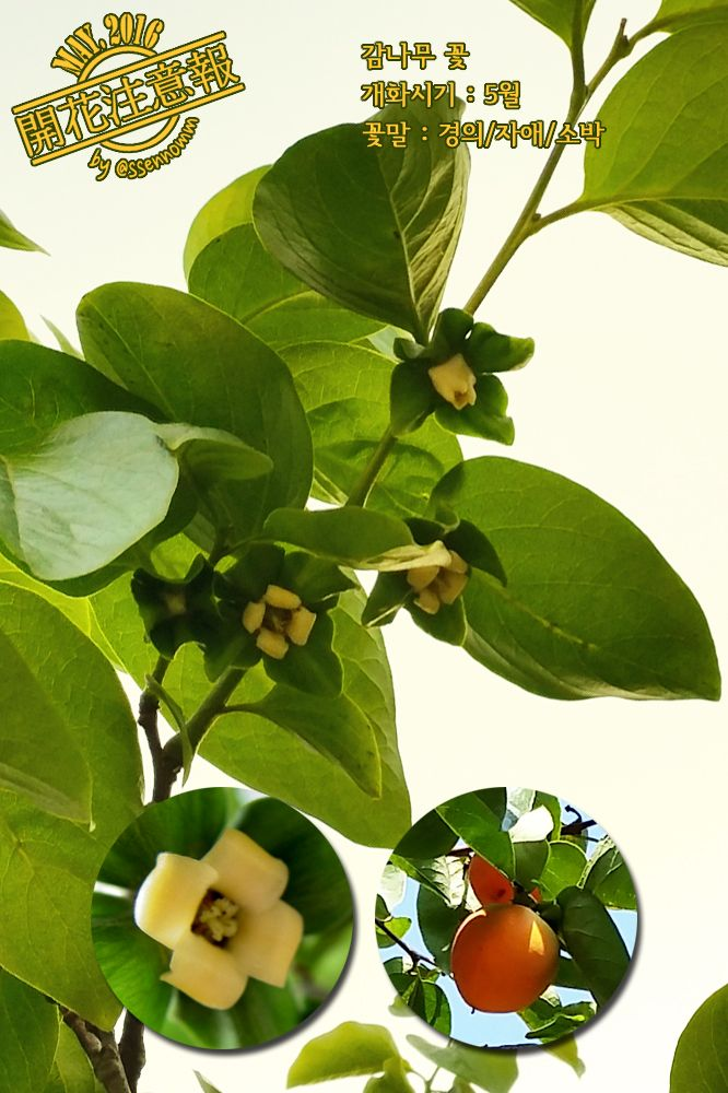▶개화주의보(068) 감나무 꽃 → http://fb.com/blooming.news/photos1721849288095911