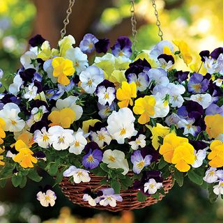 Cool Wave™ Mix Pansy Seeds:  Get ready for the Pansy revolution! The same breeders who transformed the way we grow Petunias have now done the same for Pansies, and the results are amazing! This plant trails more than 2 feet long, setting magnificent whiskered blooms every inch of the way! And it grows larger and faster than others, with a far bushier habit. Wave™ has hit Pansies -- and they're incredible!