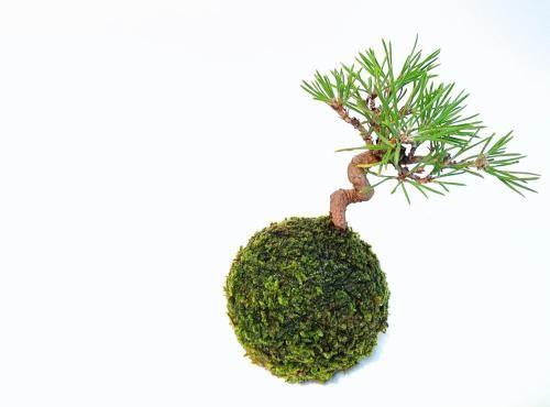 苔玉(ねじり松) - tito mossball, BONSAI