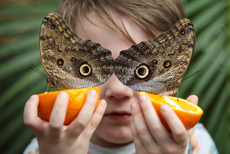 LONDON, ENGLAND - MARCH 30: George Lewys, age 5, poses with two Forest Giant Owl butterflies (Caligo eurilochus) sat on slices of oranges at the Natural History Museum on March 30, 2017 in London, England. The Natural History Museum's Butterfly House, which features an array of butterflies and chrysalises, is open to the public from March 31, 2017. (Photo by Jack Taylor/Getty Images) via @AOL_Lifestyle Read more…
