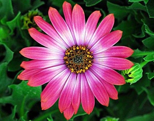 Osteospermum Flower Power Mixed #pohlmansnursery #livingcolour #gardening #Australia