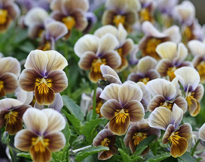 Viola 'Frosted Chocolate'  Annie's Annuals