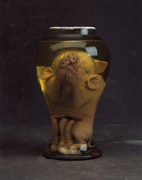 A Rare and Unusual pair of Preserved Siamese Pigs (1800 to 1900 England)