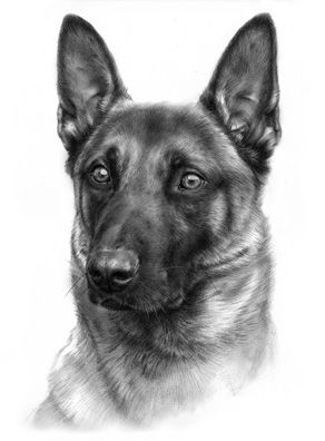 Katja Turnsek Pencil Drawing Of Malinois Animals Art