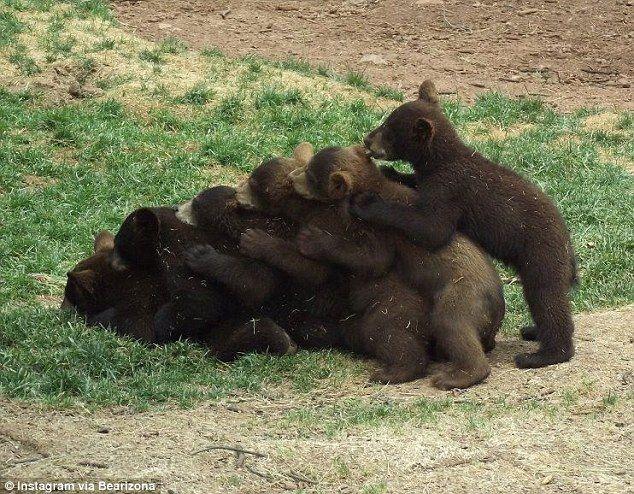 Do the (bear) conga: This image from Bearizona's social media archives shows a real bear cub pileup