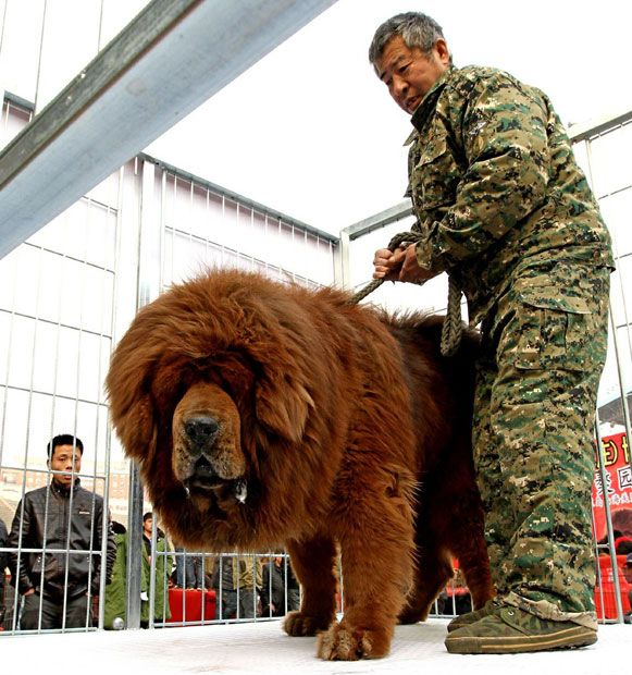 The Tibetan Mastiff is an ancient breed of dog originating from the nomadic cultures of Central Asia. The breed has become a status symbol in China as they are thought to be holy animals, blessing their owners' health and security.