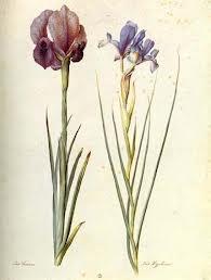 Botanical picture. Welcome to my gardening blog http://www.facebook.com/flowerindoorgardening #iris #flower #bulb