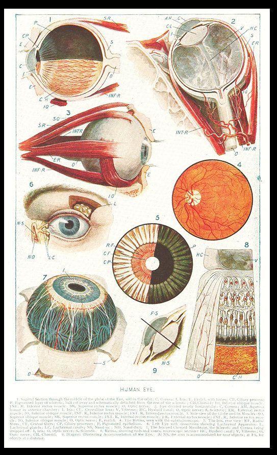 eyeballs 1923 human eye graphic art diagrams illustration print free