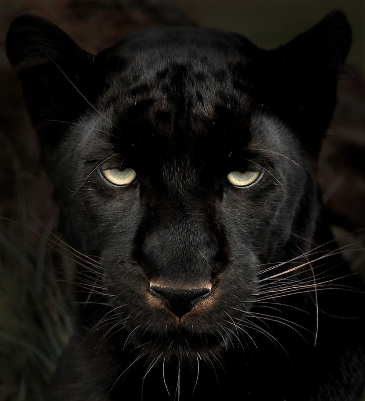 25  best ideas about Black jaguar on Pinterest | Black jaguar ...