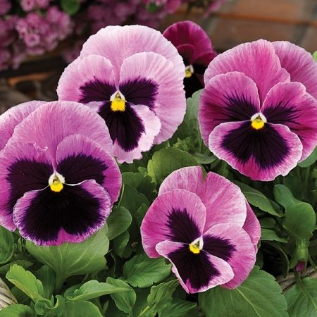 PANSY PINK BERRY                                                                                                                                                                                 More