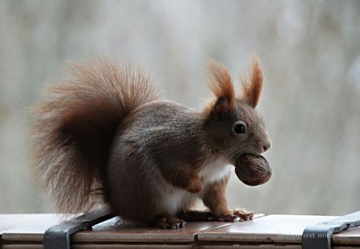IMG_3531ve #veverička #squirrel