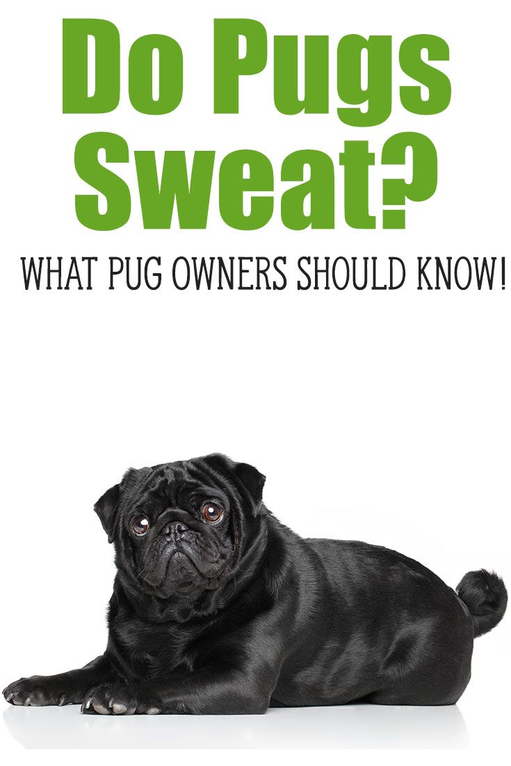 Do Pugs Sweat What You Need To Know About Helping Your Dog Stay