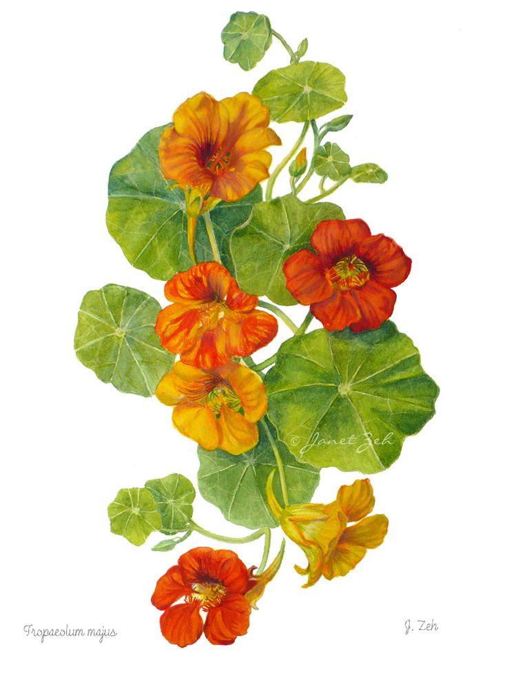 59 best Nasturtium images on Pinterest Flower art Flowers and