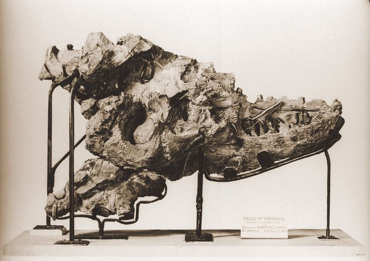 A tyrannosaur skull discovered by Joseph Tyrrell in 1884, later named Albertosaurus. HD image from Tyrrell Museum.