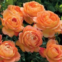 A new (for 2012) David Austin rose - Lady of Shalott. Robust, hardy, and blooms all summer. The flowers begin as a rich -red-orange and open to form a chalice shape filled with petals. Salmon pink on one side, gold yellow on the other. Delightful.