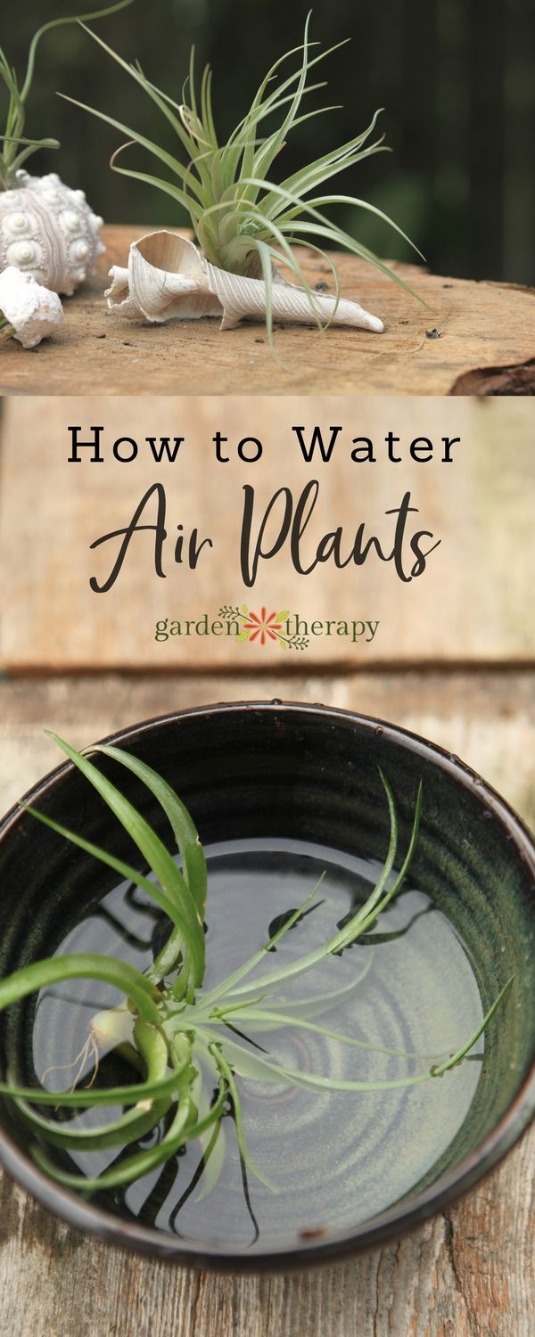 How to water air plants to keep them healthy and happy. #airplants #tillandsia #...