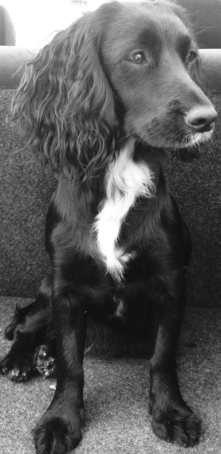 Working Cocker Spaniel Molly, 10 months old Looks a lot like my Freddy!!! Only Freddy is red :-)