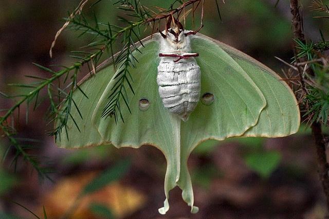 luna moth by myriorama, via Flickr