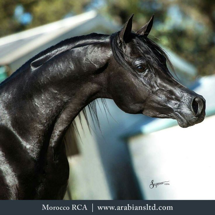 Awesome black Arabian with amazingly shiny coat. Morroco RCA