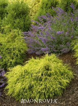 25 best images about evergreen shrubs and dwarf conifers on pinterest thuja occidentalis soft. Black Bedroom Furniture Sets. Home Design Ideas