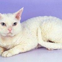 #dogalize Razas Felinas: Gato Devon Rex carácter y carácteristicas #dogs #cats #pets