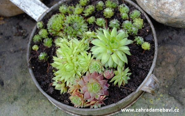 Sempervivum on a windowsill