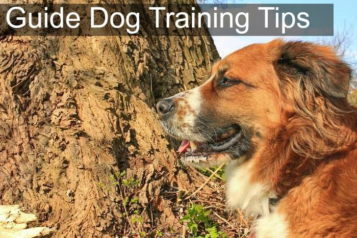 Guide dog training tips. Guide dogs are some of the most wonderful animals on the planet. A good guide dog has been known to do all kinds of things, but they generally are known for leading a blind person.