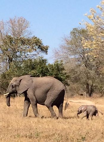 This was certainly something to see! Our short trunk elephant became a mommy - so cute!! - Umkumbe Safari Lodge