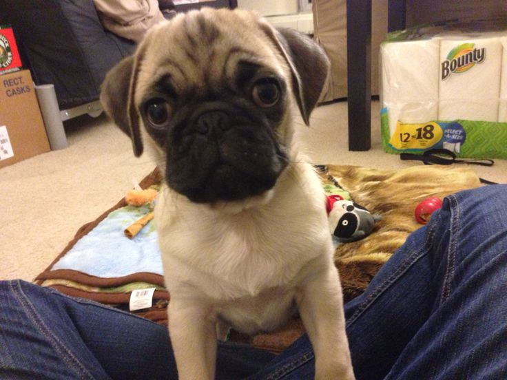 Pug wants to play