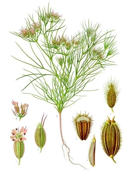 [ Botanical Print: Cuminum Cyminum ] Cumin plant and seeds. ~ from herbgardening.com