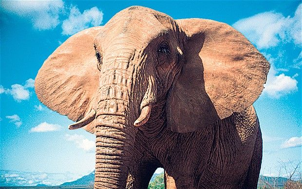 Elephants took 24 million generations to get to their current size, a study has shown.