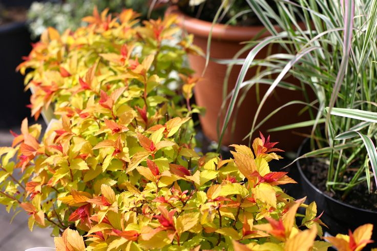 Spirsea 'Magic Carpet' - Deciduous shrub. Produces new red foliage that initially turns golden yellow, then green with age. In mid summer (June) clusters of tiny florets of mauve flowers appear. Max height 70cm, spread 70cm. Flowers June and prefers full sun. www.thepavilion.ie