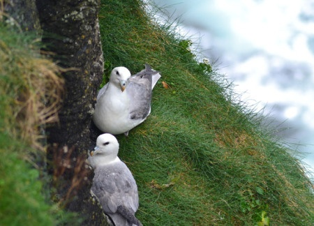 Nesting Kittiwakes on Rathlin Island, Top 10 Northern Ireland Attractions | For full list of Northern Ireland attractions check here: http://live-less-ordinary.com/europe-travel/top-10-northern-ireland-attractions-tourism-ni