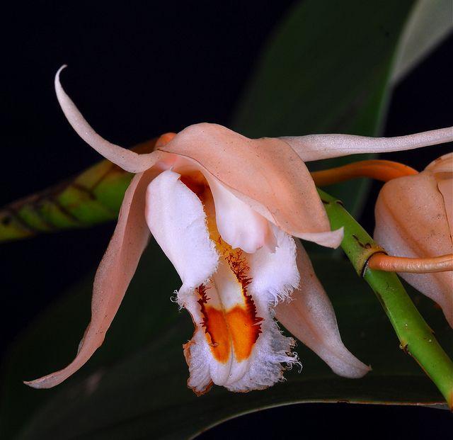 COELOGYNE orchid