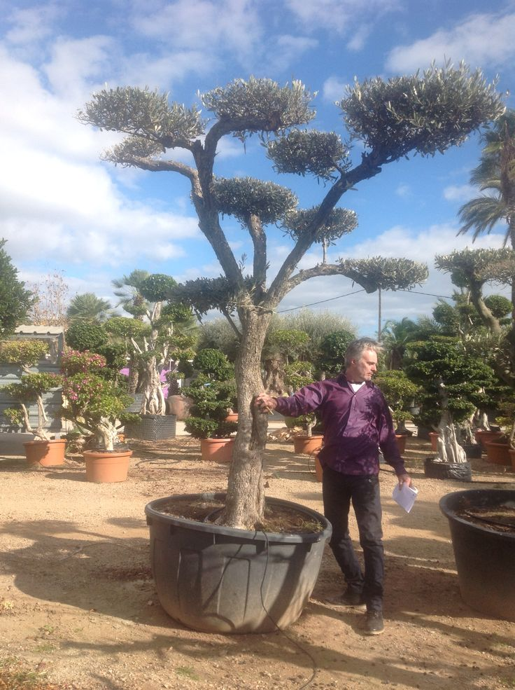 17 best images about olive trees for sale free delivery for Olive trees for sale