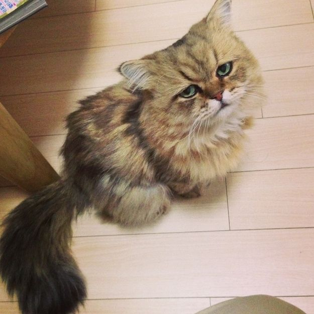 Best FooChan The Disappointed Cat Images On Pinterest Cats - Meet the japanese cat that might just be the grumpiest kitty ever