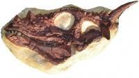 Dracorex hogwartsia skull