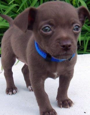 Dream dog!! Getting one once im out of school!!!! Chocolate Teacup Chihuahua. awh