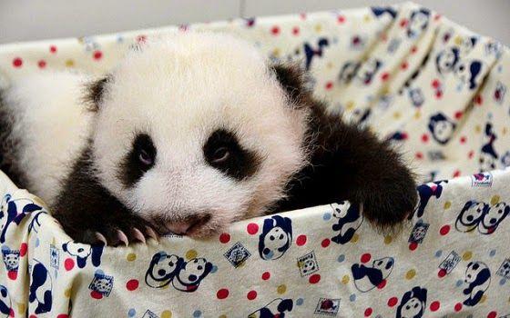 Imagenes osos panda: Imagen osito panda bebe  [29-4-16]