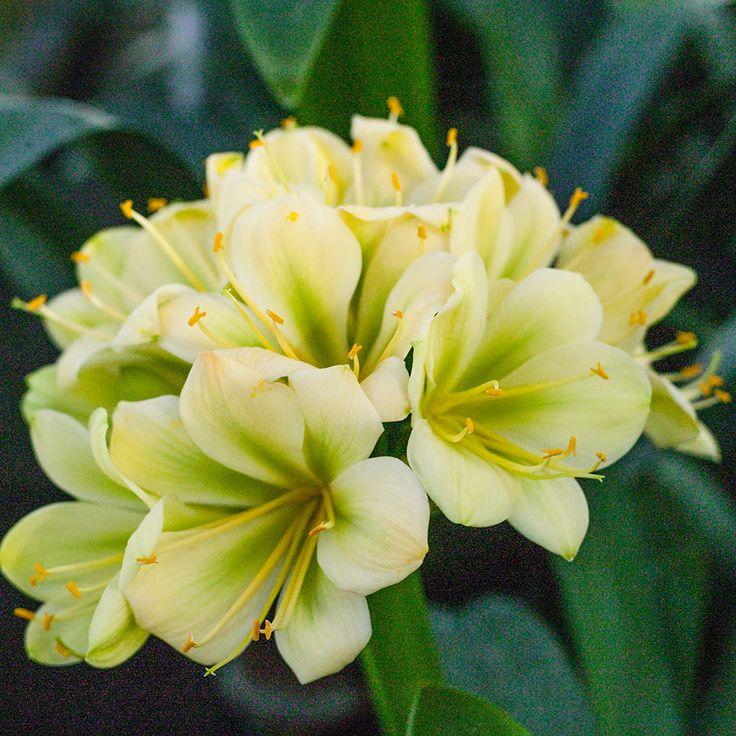Clivia miniata, (TK Yellow x Hirao) x Hirao Green.  Colorado Clivia's plant no. 1975C.