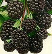 """How To Grow Blackberry Bushes - here are my tips on growing blackberry bushes based on my experience with blackberry bush plants in US hardiness zone 6a. Blackberries are the original """"living fence"""". Around for over 2000 years, blackberry brambles were allowed to grow to thickets to repel..."""
