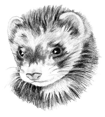 Ferret. Furet in French